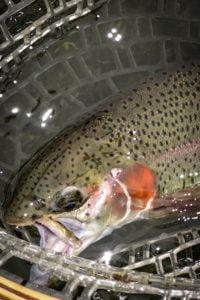 A trout in a net